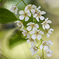 Bird cherry in the Wildlife Garden