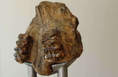 Two preserved molar teeth from a stegodont.