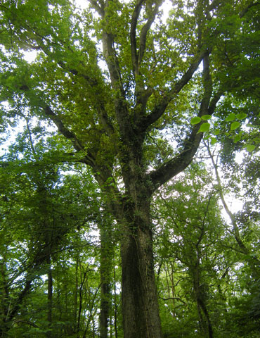 Oak tree growing in the Longleat Estate forest