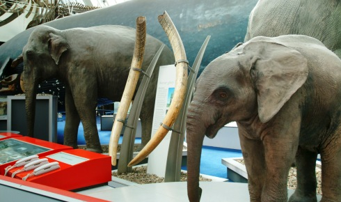 Some of the heaviest elephant tusks ever found
