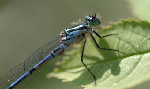 Azure damselfly on a leaf