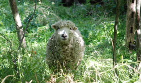 Sheep in the wildlife garden