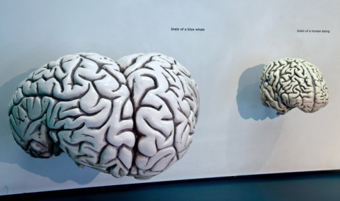 Compare the size of a blue whale and human brain