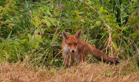 Foxes in the Wildlife Garden