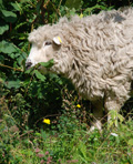 Wildlife Garden Sheep