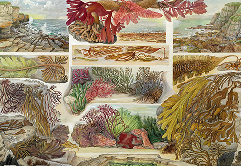 British seaweeds by Barbara Nicholson