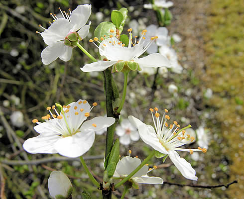 Cherry-plum flower