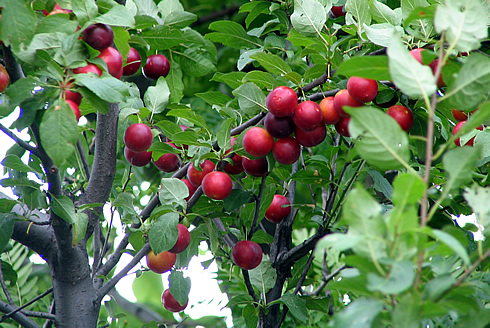 Cherry-plum fruit