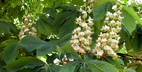 Horse chestnut flowers