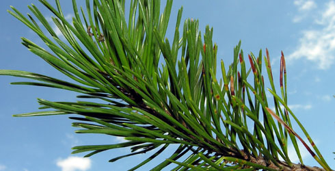 2-needled pine tree