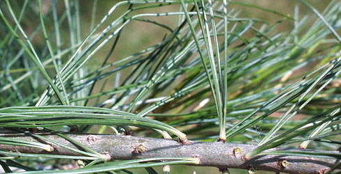 Needles of the 5-needled pine tree