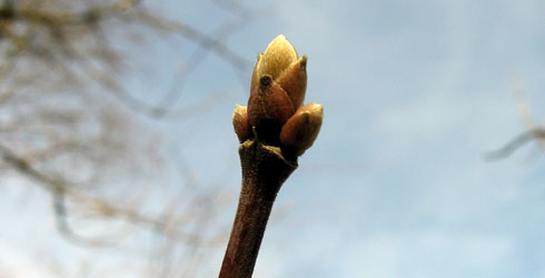 Ashleaf-maple twig