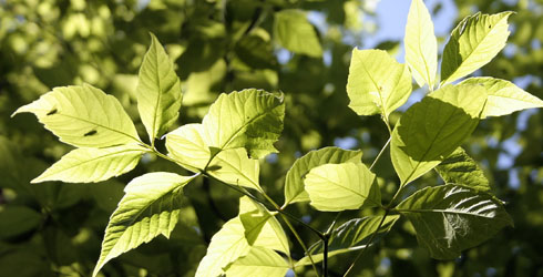 Ashleaf-maples leaves