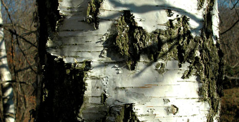 Silver birch tree bark