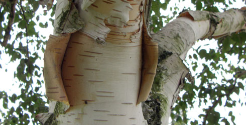 White birch tree bark