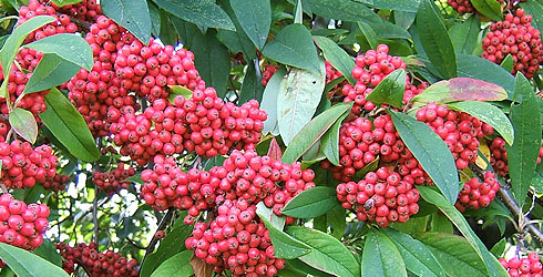 Cotoneaster tree fruit