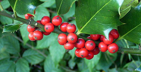 Holly tree fruit