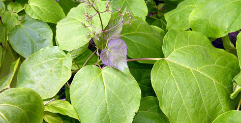 Indian bean tree leaves