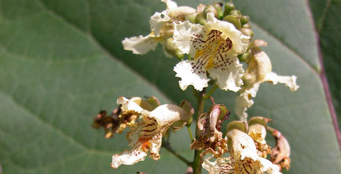 Indian bean tree flowers
