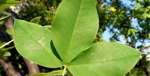 Laburnum tree leaf