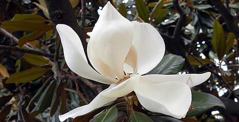 Evergreen magnolia tree flower