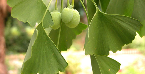 Maidenhair tree fruit
