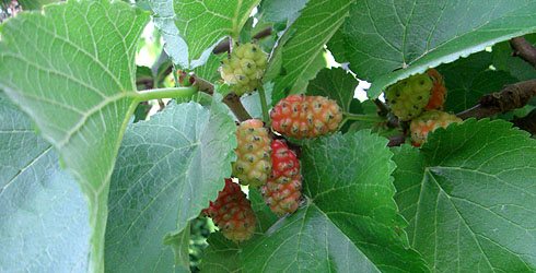 Mulberry tree fruit