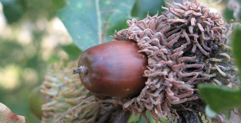 Oak tree fruit - acorn