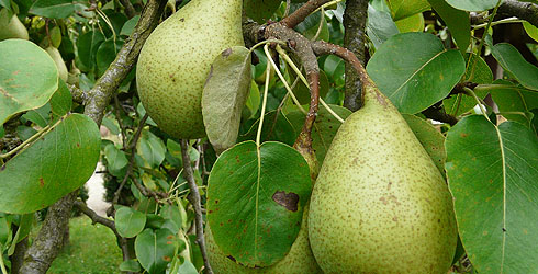 Pear tree fruit