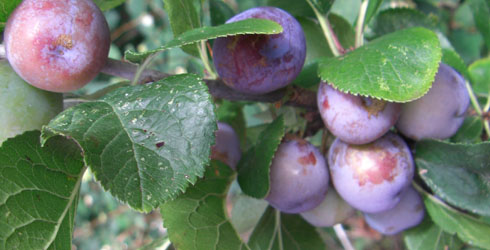 Plum tree fruit
