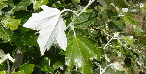 Poplar tree leaves