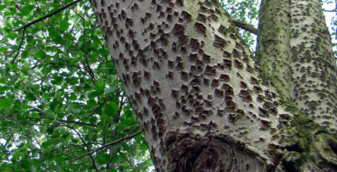 Poplar tree bark