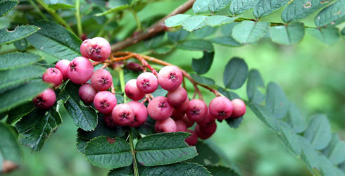White, pink or crimson-fruited rowan fruit