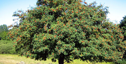 Orange or vermillion-fruited rowan tree