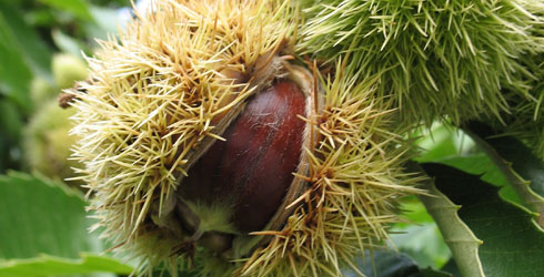Sweet chestnut tree fruit
