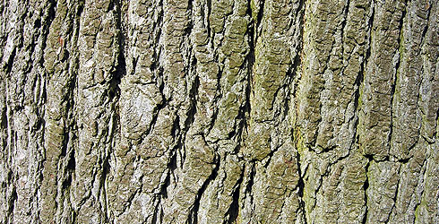 Sweet-gum tree bark