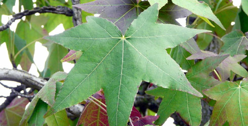 Sweet-gum tree leaves