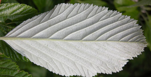 Whitebeam tree leaf