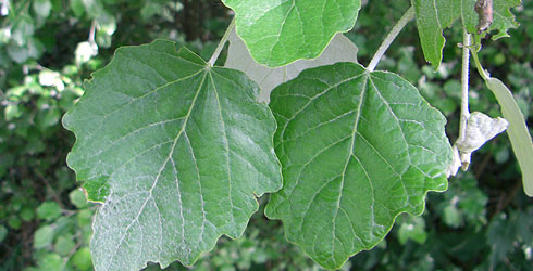 White poplar tree leaves