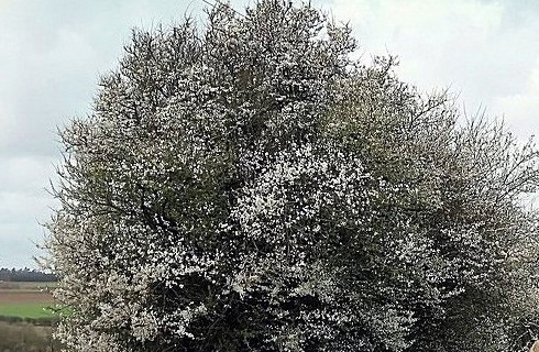 Blackthorn tree