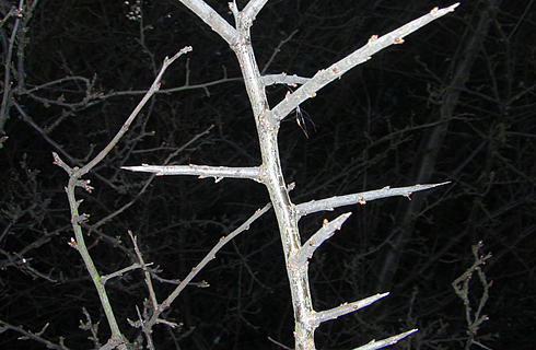 Blackthorn twig