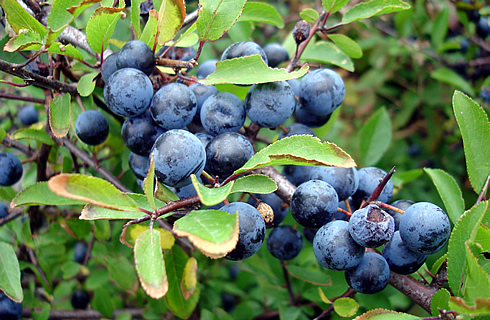 Blackthorn fruit