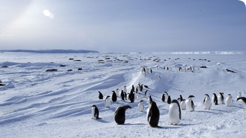 A colony of Adélie penguins (Pygoscelis adeliae) in Antarctica
