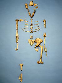 The partial skeleton of Lucy, Australopithecus afarensis.