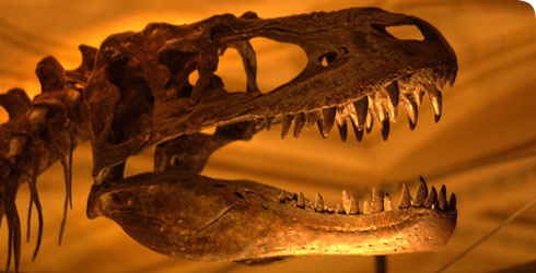 The skull of Albertosaurus on display at the Museum