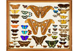 Specimen drawer of insects collected by Alfred Russel Wallace