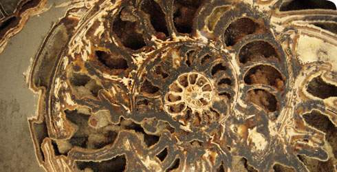 A fossil ammonite, Asteroceras stellare, from the Jurassic, 65 - 250 million years ago