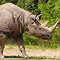 Early Britons encountered animals such as rhinos