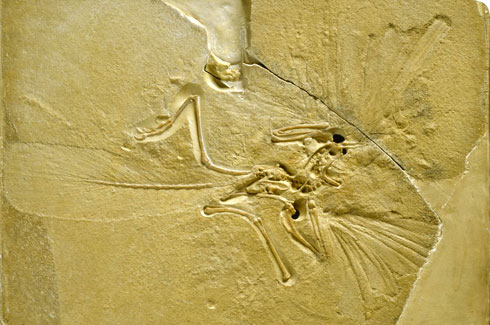 Archaeopteryx lithographica fossil in the collections of the Natural History Museum, London