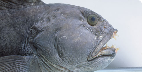 Atlantic catfish, Anarhichas lupus - a deep sea, bottom-dwelling fish in the northern hemisphere.